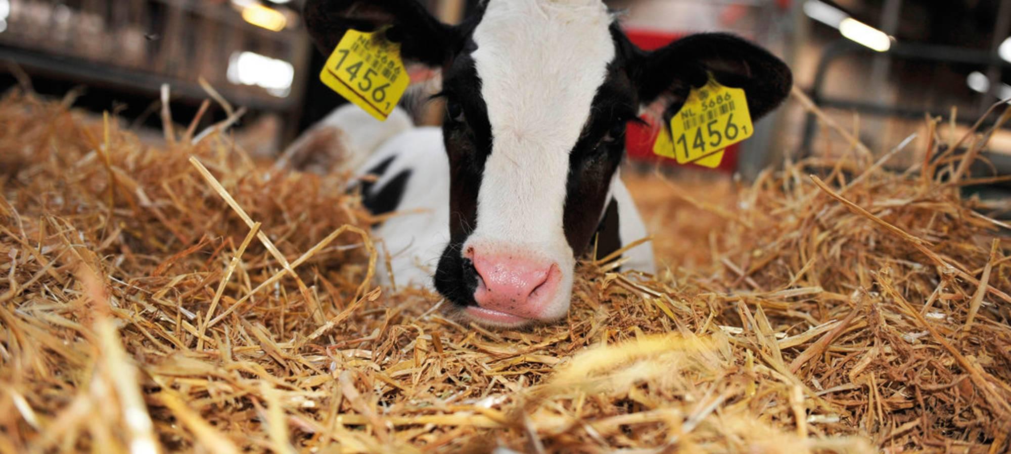 комбикорм для коров
